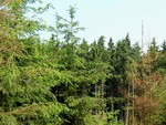 smrkový les částečně poškozený solením blízké silnice