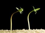 semenáčky řeřichy ohýbající se za světlem