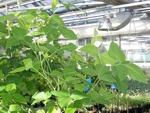 sója pěstovaná ve skleníku