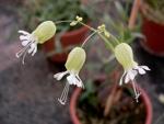 Kvetoucí silenka obecná (Silene vulgaris).