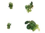 Kousky stonků tabáku, na nichž vyrůstají nové stonky a listy. Růst je mnohem intenzivnější, pokud buňky tabáku produkují přenašeč hormonu auxinu z třešně (vpravo).