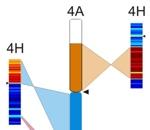Struktura pšeničného chromozómu 4A porovnaná se strukturou ječmenových chromozómů 4H, 5H a 7H.