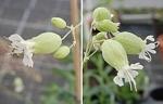 Silenka obecná (Silene vulgaris). Vlevo oboupohlavný květ, vpravo samičí květy.